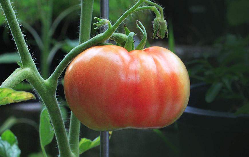 tomate acido urico piel
